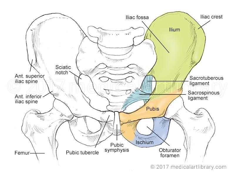 Anatomy of pelvic bone