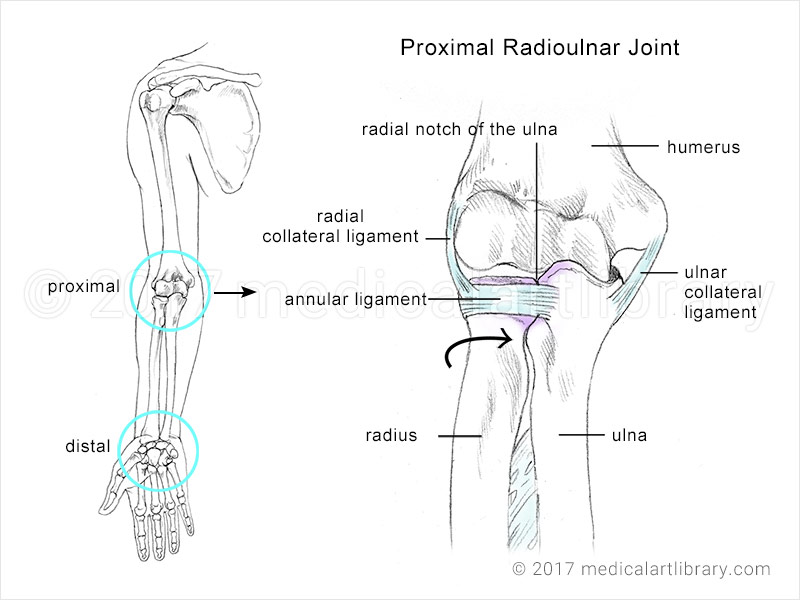 Radioulnar Joint - Medical Art Library