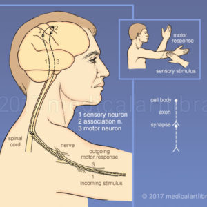 Sensory Input, Motor Response