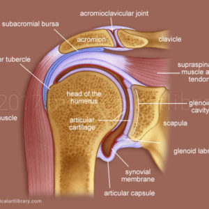 Shoulder Joint Ligaments  Medical Art Library