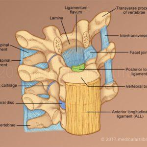 Vertebral Ligaments
